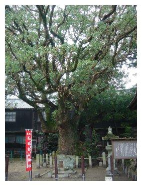 白山神社 おおくすの木