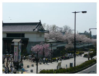 岡崎公園 桜
