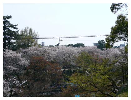 岡崎公園お堀で桜