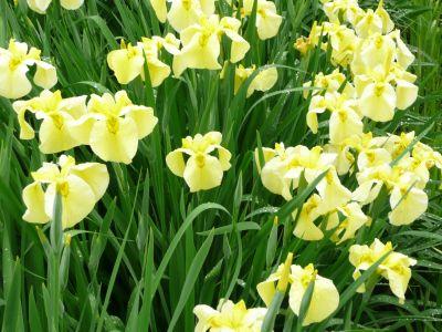 黄色の菖蒲