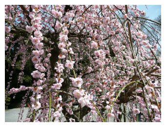 梅の花大きく