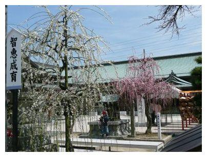 岡崎本堂の梅